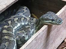 morelia snake wikipedia