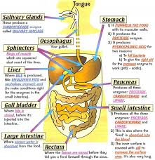 best 25 human digestive system ideas on pinterest the human
