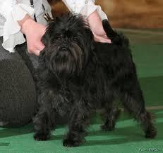 affenpinscher dogs for sale 2233150 jpg