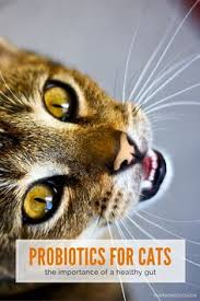 the benefits of a raw food diet for cats raw food diet cat and