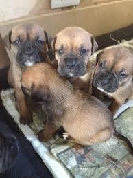 3 month boxer dog dogue de bordeaux x boxer staff puppies letchworth garden city