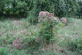 plants native to wisconsin introduced species native plants and weeds confuse a gardener