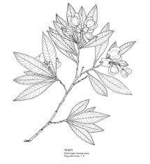 Flower Drawings Black And White - best 25 hawaiian flower drawing ideas on pinterest plumeria