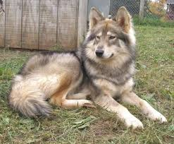 australian shepherd wolf 17 best images about wolf dog on pinterest beautiful wolves and