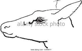 lacrimal sac stock photos u0026 lacrimal sac stock images alamy