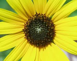 yellow daisy wallpapers flower yellow daisy closeup large bright flowers wallpapers in
