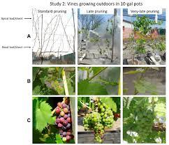 canopy management wine u0026 grapes u