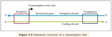 how can dna be transcribed to rna updated