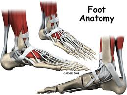 Foot Anatomy Nerves Patients Guide To Foot Anatomy