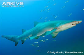 sand tiger shark photos and facts carcharias taurus arkive