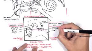 Inner Ear Anatomy And Physiology Anatomy Ear Overview Youtube