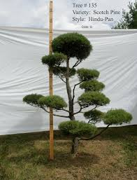 Topiary Cloud Trees - scotch pine hindu pan topiary tree 135 cloud pruning
