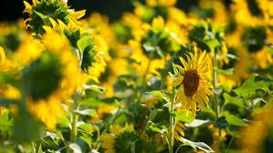 salina ks sunflower field by kansas state university k state today archive