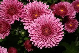 november seasonal flowers chrysanthemum flower flowers pinterest chrysanthemums flowers