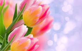 bunga tulip flower wallpaper