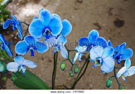 blue orchids blue orchids stock photos blue orchids stock images alamy
