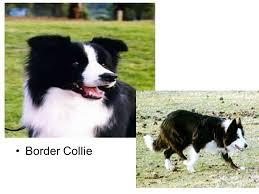 belgian sheepdog australia australian cattle dog australian shepherd belgian sheepdog ppt