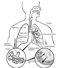 lung respiratory system diagram sketch coloring page coloring home