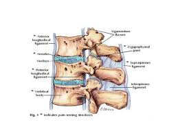 Anatomy Of Vertebral Body Thoraco Lumbar Fractures Of Spine
