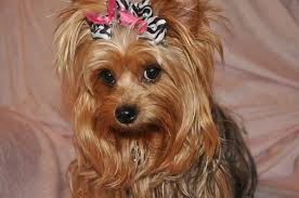 haircuts for yorkie dogs females female yorkie haircuts dryorkies pastpuppy html medium hair styles
