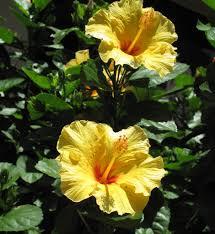 Yellow Flowering Bushes And Shrubs Yellow Hibiscus Bush U2014 The Planting Tree