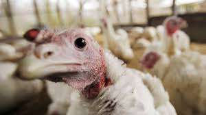 where your thanksgiving turkey comes from artificial