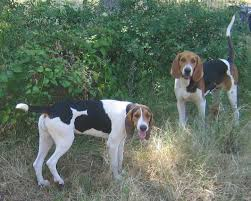 bluetick coonhound for sale in va treeing walker coonhounds from white deer kennel