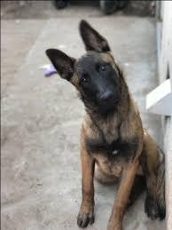 belgian shepherd washington state de 25 bedste idéer til malinois puppies for sale på pinterest