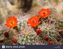 mojave desert native plants mojave mound cactus claret cup blooms in spring mojave desert