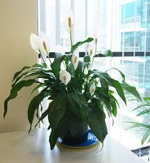 peace lily plants u0026 flowers peace lily