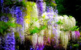 flower wisteria climbing vines pea family flowering plants