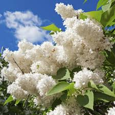 Types Of Gardening Plants Lilac Plant Types U2013 Learn About Different Varieties Of Lilac