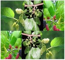 edible fruits white mulberry tatarica white mulberry morus alba tatarica tree