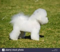bichon frise 6 years old bichon frise dog stock photos u0026 bichon frise dog stock images alamy
