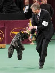 affenpinscher westminster 2015 images westminster kennel club dog show