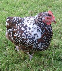 chicken breeds with no tail feathers backyard chicken breeds