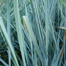 ornamental grasses catalogue bambooplants ca