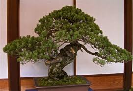 tree meaning bonsai plant home decor and design