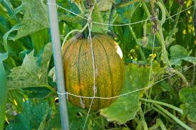 pumpkin on trellis sassy susan creates
