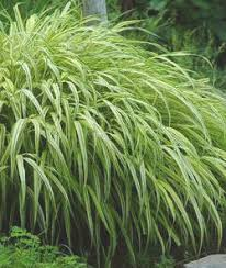 ornamental grasses for shade faddegon s nursery latham ny