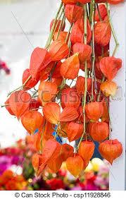lantern flower arrangement of lantern flowers dried orange