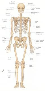 289 best human anatomy images on pinterest human anatomy