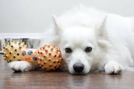 american eskimo dog 101 the american eskimo from farm dog to circus performer