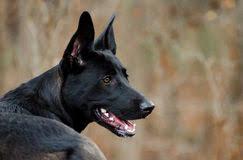 belgian shepherd black belgian shepherd mixed breed dog stock photos images u0026 pictures