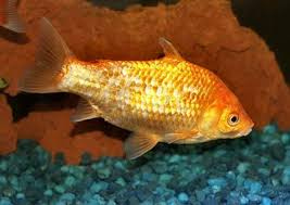 goldfish types fish guides for fancy goldfish and common goldfish