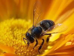 new studies show pesticide toxicity endangers honey bee flight