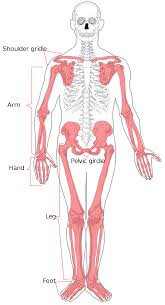Anatomy Of The Human Body Bones Appendicular Skeleton Wikipedia