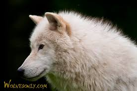 wolves only arctic wolf aw221