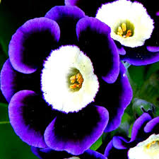 petunia flowers 100pcs trailing tricolor petunia seeds hanging petunia hybrida