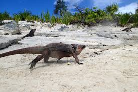 iguana island wilding out with endangered bahamian rock iguanas bahamas exuma